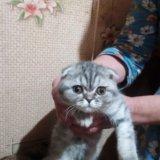 Котёнок шотлан веслоух,. Фото 1. Пенза.