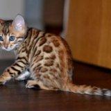 Бенгальские котята. Фото 1. Москва.