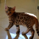 Бенгальские котята. Фото 3. Москва.