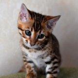 Бенгальские котята. Фото 2. Москва.
