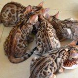Бенгальские котята. Фото 4. Москва.