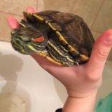 Красноухая черепаха. Фото 1. Саратов.