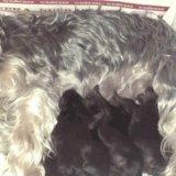 Продам щенков йоркширского терьера. Фото 2.