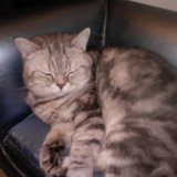 Британский котик. Фото 1. Ногинск.