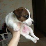 Собака джек рассел. Фото 1. Ставрополь.