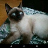 Продам сиамского кота со всем инвентарём. Фото 1.