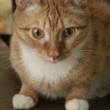 Кот рыжик. Фото 1.