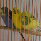 Волнистые попугаи. Фото 1. Новосибирск.