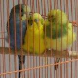 Волнистые попугаи. Фото 3. Новосибирск.