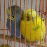 Волнистые попугаи. Фото 4. Новосибирск.