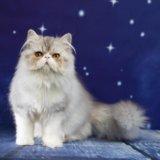 Персидский принц рафаэль. Фото 4. Ростов-на-Дону.