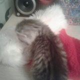 Британские котята. Фото 3. Саратов.