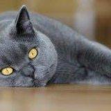 Британская кошка. Фото 1. Самара.
