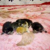 Шотландские вислоухие котятки. Фото 2. Краснодар.