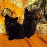 Два темно-дымчатых котика. Фото 2.