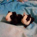 Морские свинки. Фото 2.