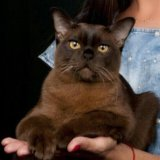 Кот бурманский.вязка. Фото 1.