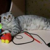 Продам шотландского котенка. Фото 2.