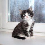 Метис сибирской 1,5 месяца. Фото 1.