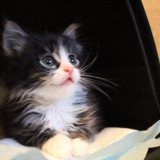 Метис сибирской 1,5 месяца. Фото 2.