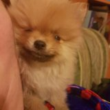 Померанский шпиц щенок 25 сент др. Фото 2. Москва.