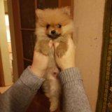 Померанский шпиц щенок 25 сент др. Фото 3. Москва.