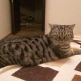 Продаю кошку британца. Фото 2. Пушкино.