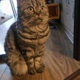 Продаю кошку британца. Фото 3. Пушкино.