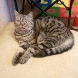 Продаю кошку британца. Фото 4. Пушкино.