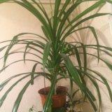 Растение, цветок в горшке. Фото 1. Владикавказ.
