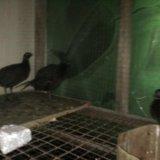 Продам фазанов. Фото 1. Благовещенск.