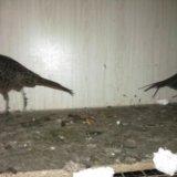 Продам фазанов. Фото 3. Благовещенск.