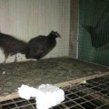 Продам фазанов. Фото 4. Благовещенск.
