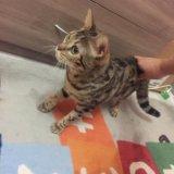 Бенгальская кошка. Фото 2.