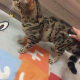 Бенгальская кошка. Фото 3.