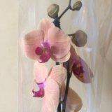 Орхидея. Фото 1. Иркутск.