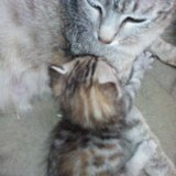Котята от бенгальского кота. Фото 2. Сургут.