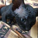 Котята сфинк. Фото 1. Абакан.