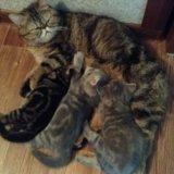 Котята экзоты - персы для ленивых. Фото 1. Волгоград.