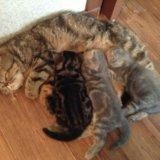 Котята экзоты - персы для ленивых. Фото 2. Волгоград.