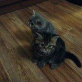 Котята экзоты - персы для ленивых. Фото 4. Волгоград.