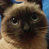 Котик сиамский. Фото 1.