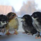 Цыплята. Фото 1. Курьи.