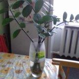 Замиокулькас (долларовое дерево). Фото 1.