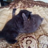 Британские котята. Фото 3.