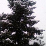 Голубая ель. Фото 2. Новороссийск.