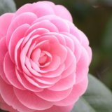 "Алмазная мозаика ""роза"". Фото 1."