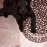 Собака шарпей. Фото 2.