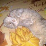 Британская кошка. Фото 4.