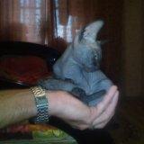 Кошечка сфинкс. Фото 2.